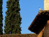 Le pigeon et les cyprès