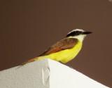 L'oiseau au ventre jaune