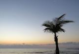 palmier solitaire