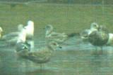 Gulls at Horseshoe Lake, 18 April 2014