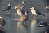 Gulls at Horseshoe Lake, 7 Dec 2014