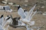 Gulls at Larimer Landfill 13 Dec 2014