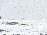 Gulls at Larimer Landfill, 28 Feb 2015