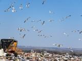 Gulls at Larimer Landfill, 4 April 2015