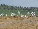 Gulls at Larimer Landfill, 13 June 2015