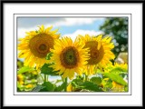 Sunflowers in Flamborough