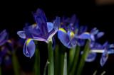 6th November 2013  iris