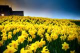 9th April 2014  hill of daffodils