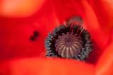 2nd June 2014  poppy