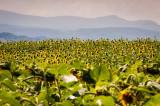 1st August 2014  sunflower field