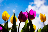 3rd May 2015  tulips