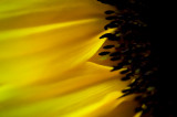 19th July 2015  sunflower