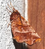 6817, Selenia alciphearia, Northern Thorn