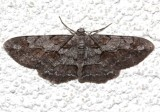 6582, Iridopsis vellivolata, Large Purplish Gray