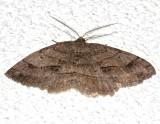 6621, Melanolophia signataria, Signate Melanolophia