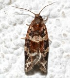 3597,Argyrotaenia velutinana, Red-banded Leafroler