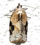 3625, Argyrotaenia mariana, Gray-banded Leafroller