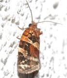 3597, Argyrotaenia velutinana, Red-banded Leafroller