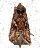 8908, Autographa precationis, Common Looper