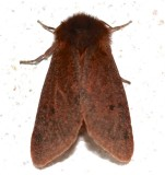 8156, Phragmatobia fuliginosa, Ruby Tiger Moth