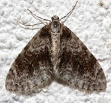 7637, Cladara limitaria, probably