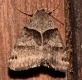 8738, Caenturgina crassiuscula, Clover Looper