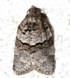 3672, Syndemis afflictana, Back-and-gray Banded Leafroller