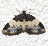 7307, Mesoleuca ruficilata, White-ribboned Carpet