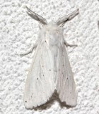 8134, Spilosoma congrua, Agreeable Tiger Moth