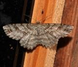 6620, Melanolophia canadaria, Canadian Melanolophia
