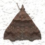 8393, Lascoria ambigualis, Ambiguous Moth, female