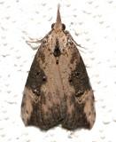 8461, Hypena humili.  Hop Vine Moth