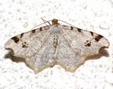 6326, Macaria demulataria, Common Angle