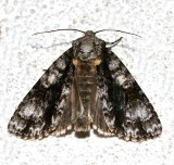 9226, Acronicta superans, Splendid Dagger