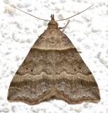 8338, Phalaenophana, pyramusalis, Dark-banded Owlet