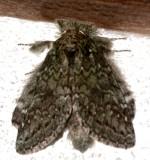 7990, Heterocampa umbrata, White-blotched Heterocampa