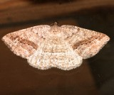 6807, Tacparia desertata, Pale Alder Moth