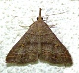 8384.1, Renia flaviopunctalis, Yellow-spotted Renia