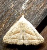8357, Macrochilo absporptalis, Slant-lined Owlet