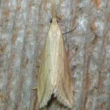 5320, Donacaula amblyptepennis