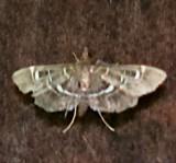 5175, Diathrausta harlequinalis, Harlequin Webworm