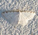 6273, Speranza pustularia, Lesser Maple Spanworm