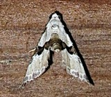 8440, Nigetta formosalis, Thin-winged Owlet