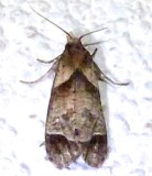 3813, Phrheochoa birdana, Bird's Cochylid