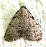 8427, Dyspyralis puncticosta, Spot-edged Dyspyralis