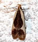 2295, Dichomeris flavocostella, Cream-edged Dichomeris