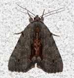 8864, Catacola grynea, Woody Underwing