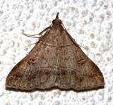 8384.1, Renia flavipunctalis, Yellow-spotted Renia