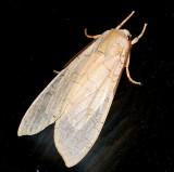 8203, Halysidota tessellaris, Banded Tussock Moth