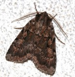 10968, Xestia badicollis, Northern Variable Dart